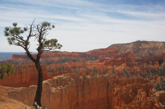 LONE TREE, BRYCE CANYON