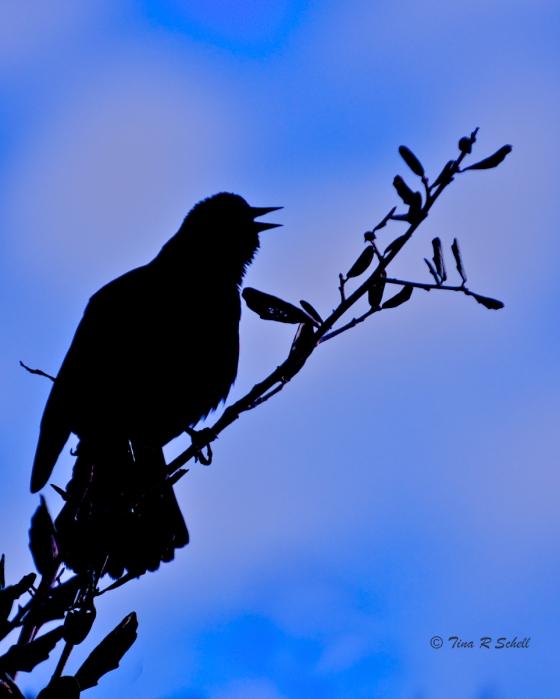SILHOUETTE, RED-WINGED BLACKBIRD