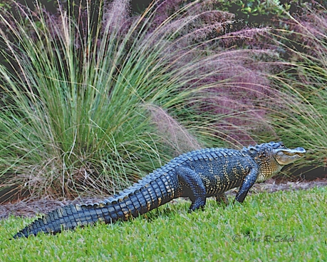 GATOR IN THE SWEETGRASS