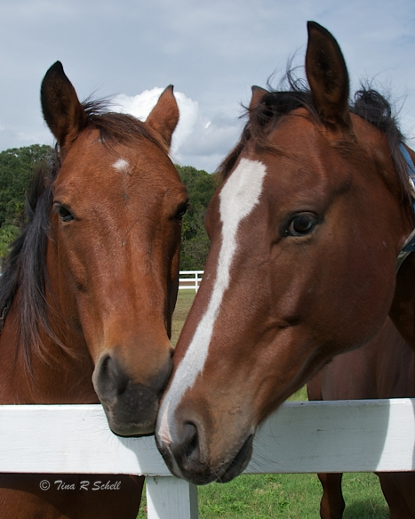 NOSE TO NOSE - HORSE COUPLE