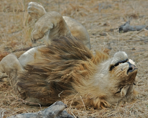 THE LION SLEEPS TONITE
