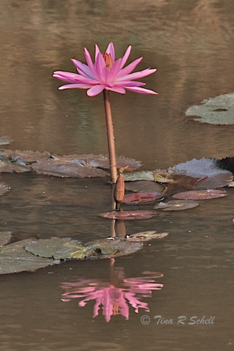 WATER LILY, ANGKOR WAT REFLECTING POND