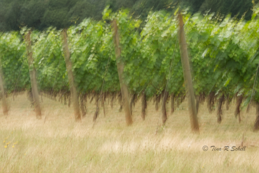 VINEYARD ON A CLOUDY DAY