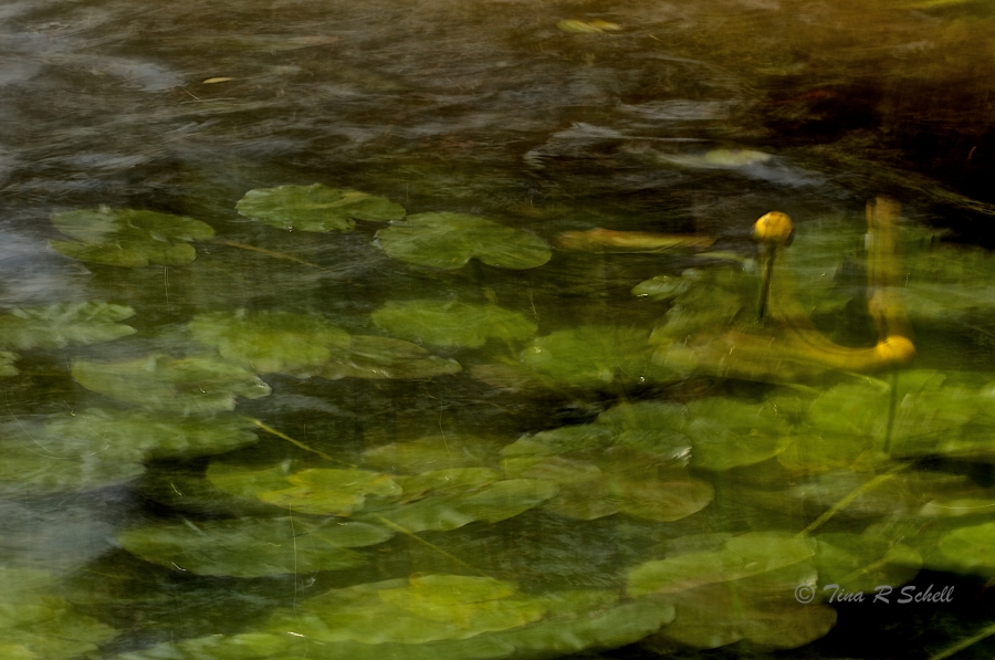 IMPRESSIONS OF LILY PADS