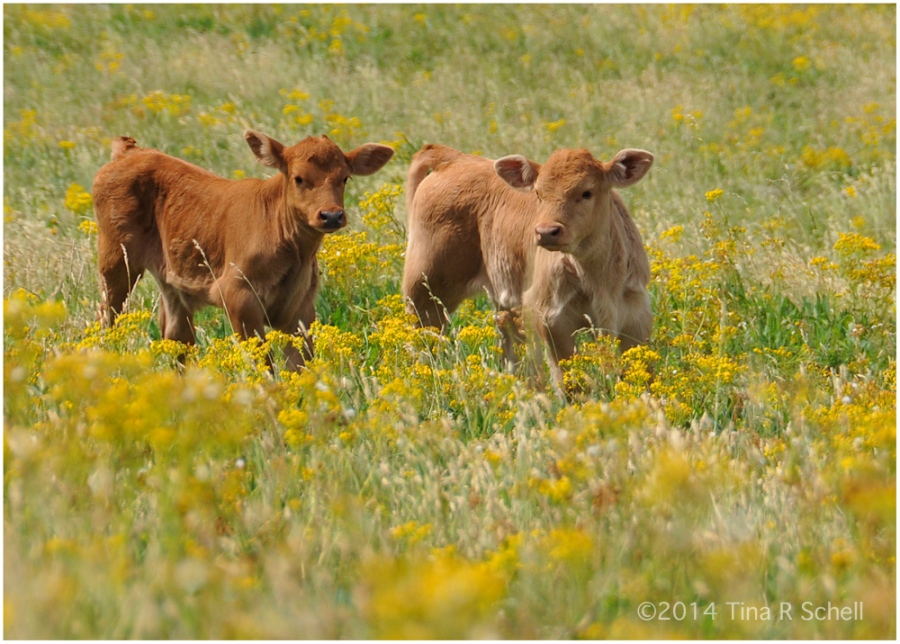 CALVES AND FLOWERS