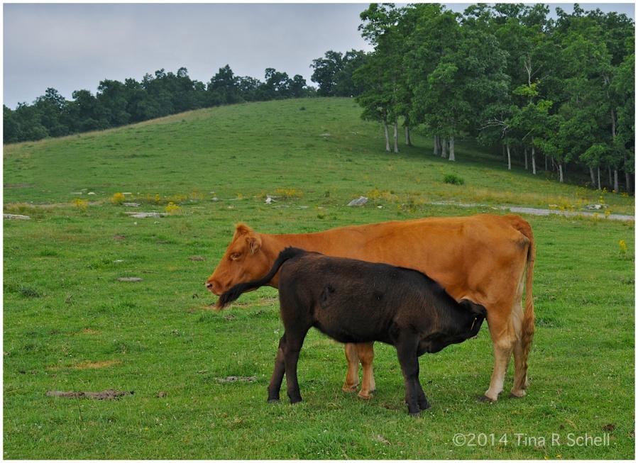LA LECHE COWS