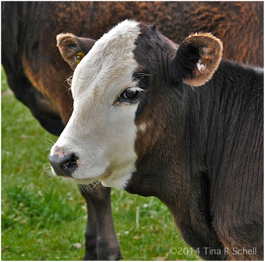 CONTRASTED CALF