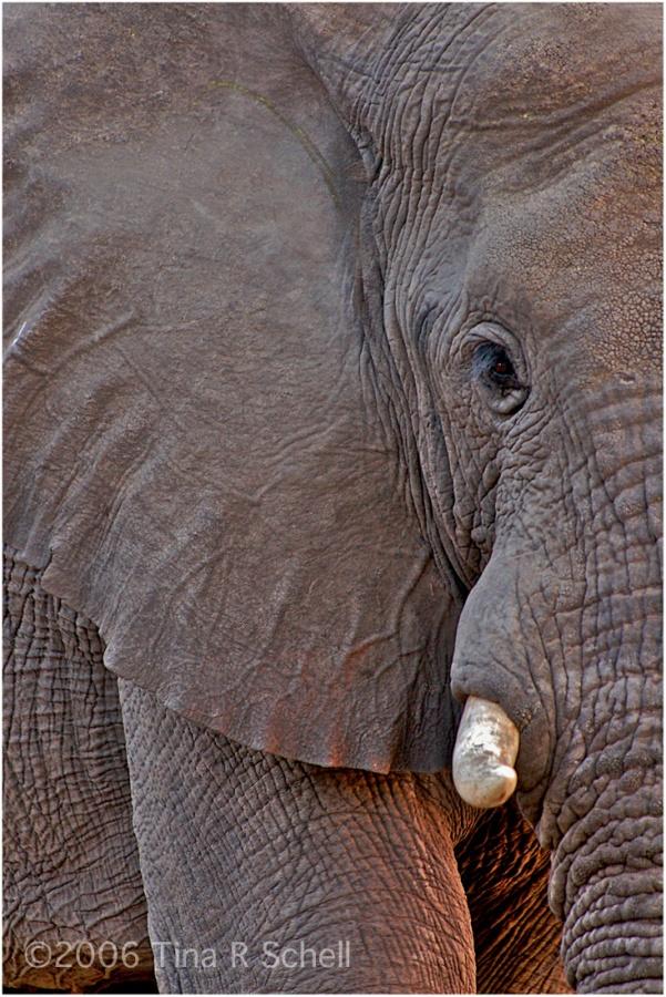ELEPHANT AT SUNSET,BOTSWANA
