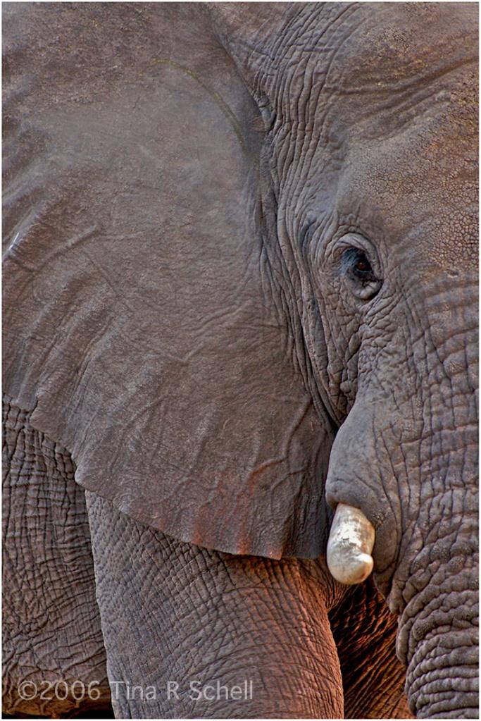 ELEPHANT AT SUNSET, BOTSWANA
