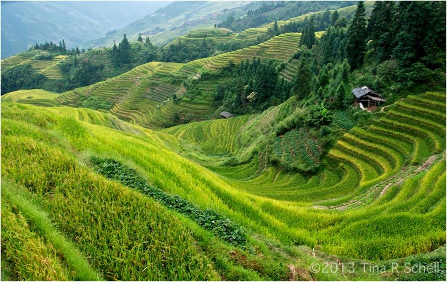 RICE FIELDS, LONGSHENG,CHINA