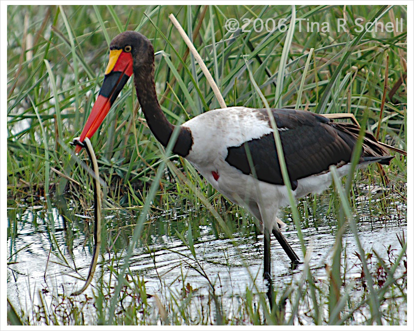 SADDLEBILL STORK AND SNAKE, BOTSWANA