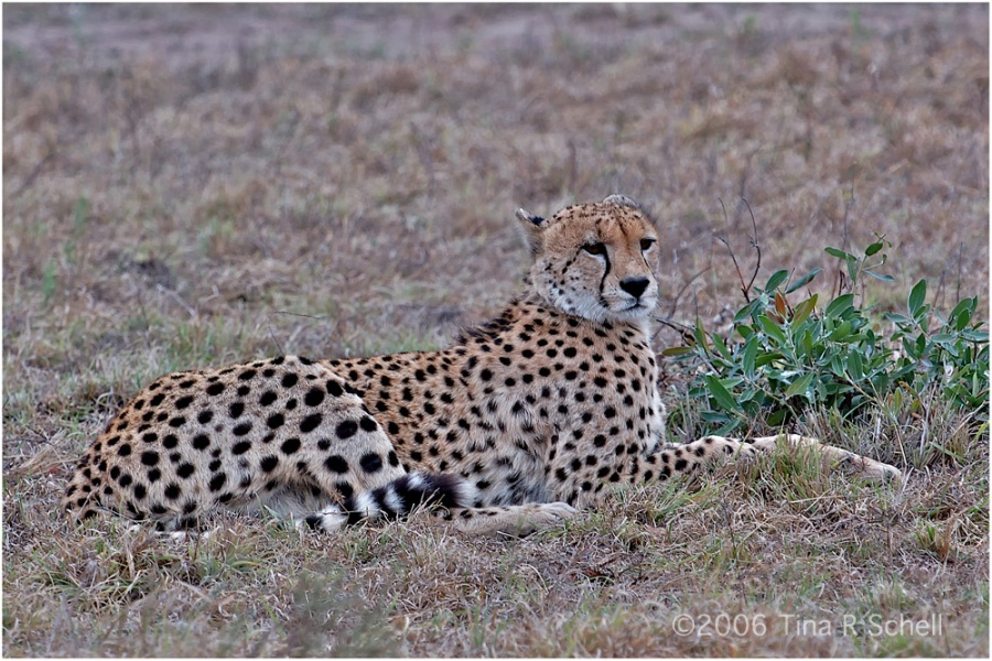 CHEETAH AT REST