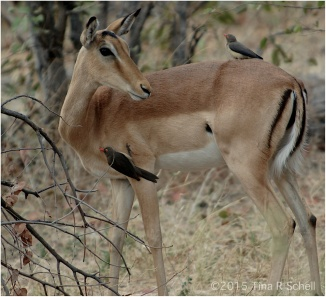 PECKING OXPECKERS