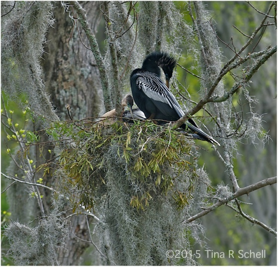 ANHINGA PARENTS-TO-BE