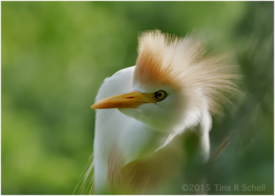 CARROT TOP CATTLE EGRET