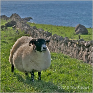 SHEEP ON THE SHORE