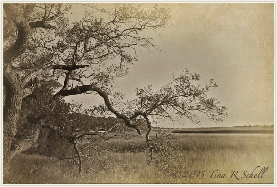 OAK ON THE MARSH