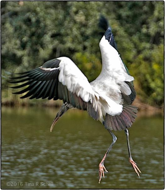 Woodstork taking flight
