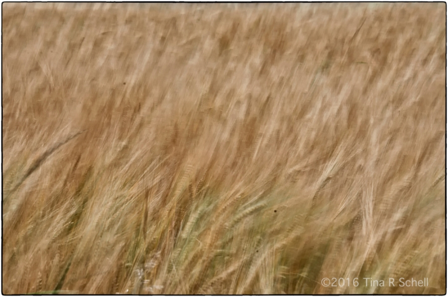 WINDBLOWN GRASSES