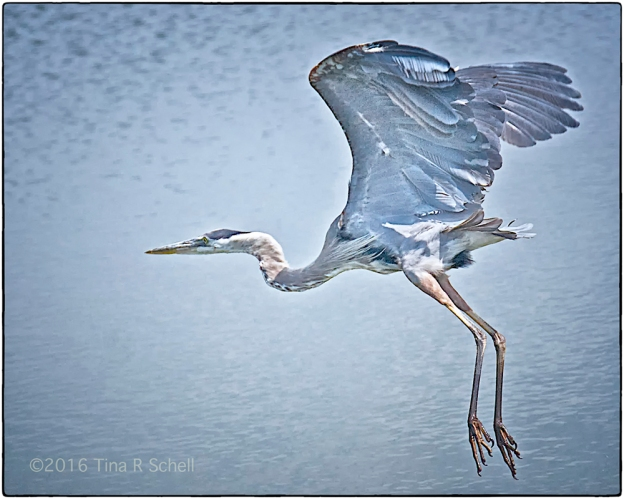 HERON ON THE WING