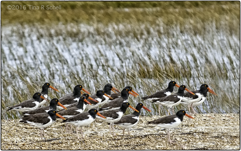 OYSTERCATCHER CONVENTION