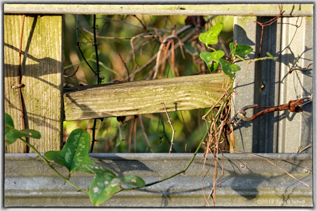 FENCE AND VINES