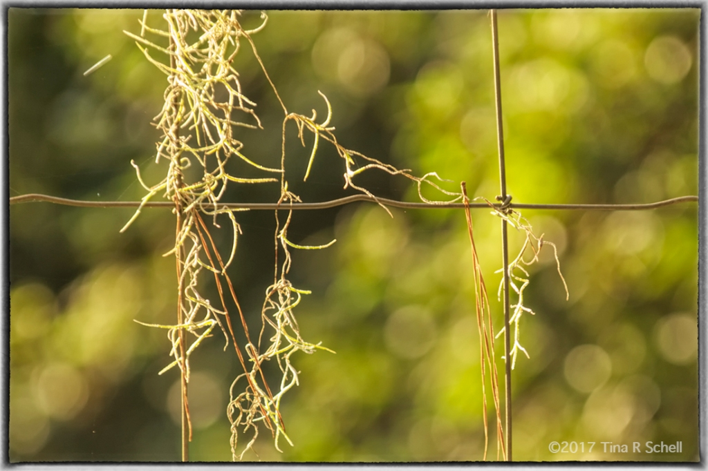 MOSS ON THE WIRE