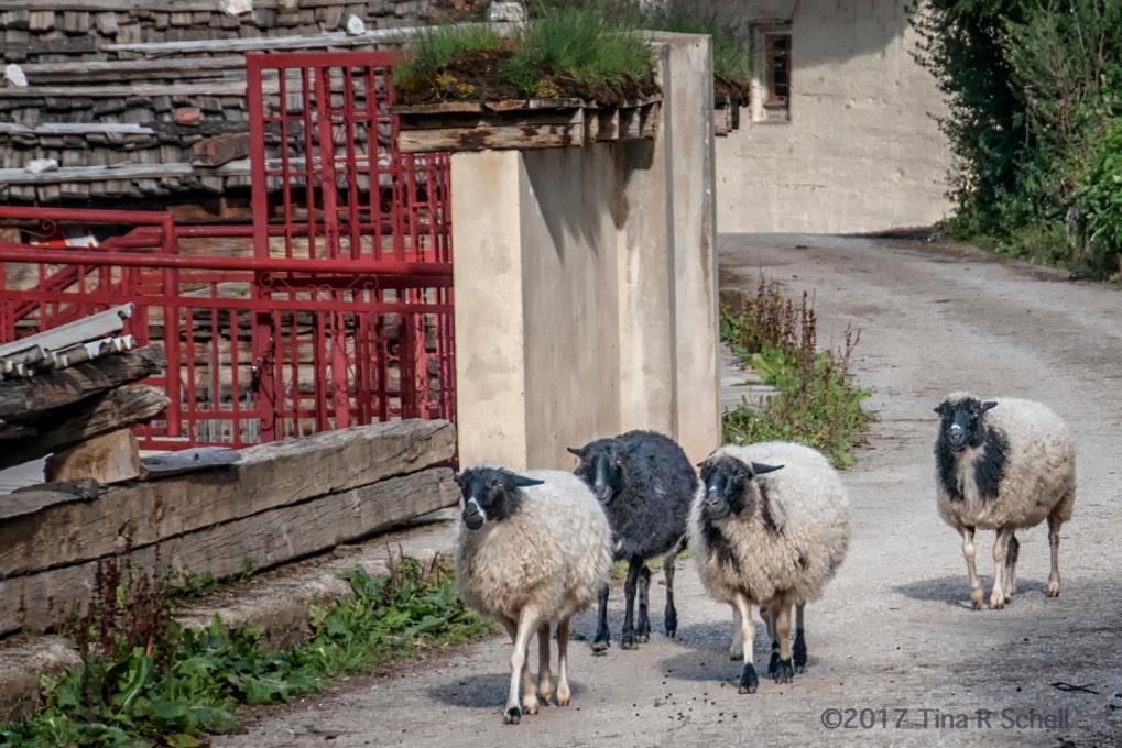 SHEEP AT THE CORNER