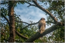 HAWK AT REST
