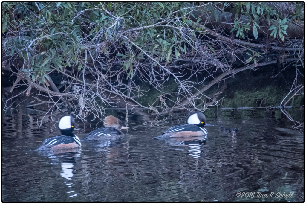 THREE MERGANSERS
