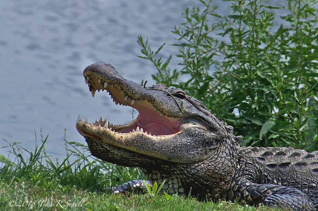 GAP-TOOTHED GATOR