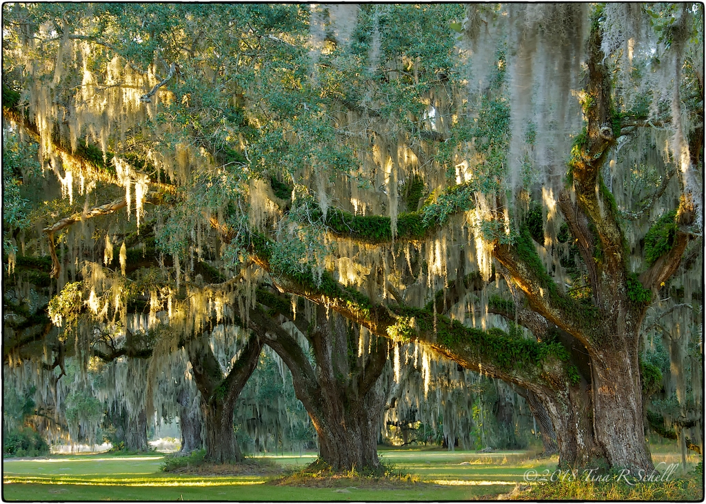 LIVE OAKS, ACE BASIN