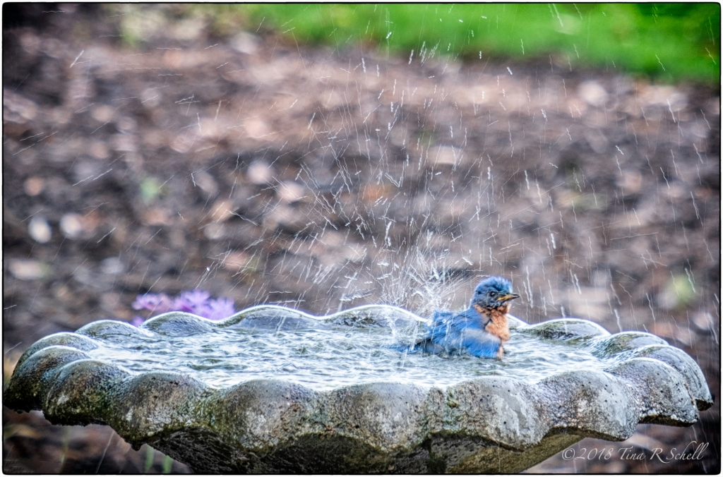 BATHING BLUEBIRD