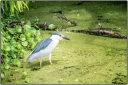 NIGHT HERON IN THE MUCK