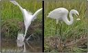 Egret fishing and fish in beak