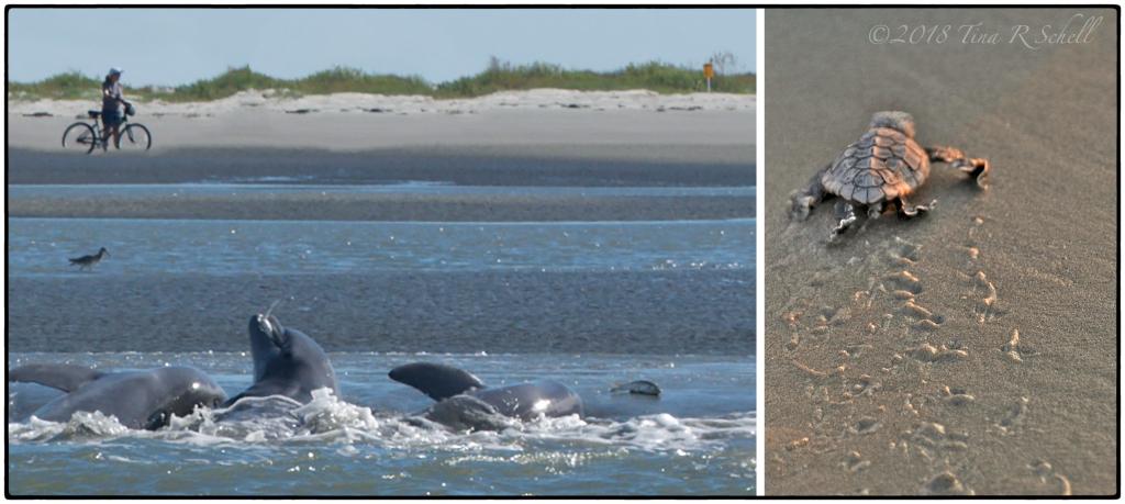 strand feeding dolphins, loggerhead hatchling