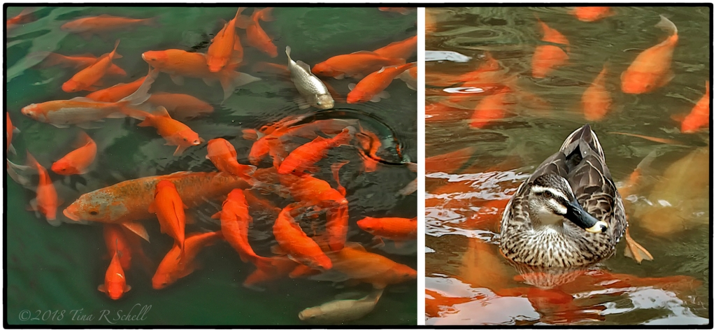 orange carp with duck