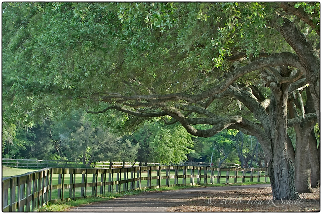 FENCE WITH OAKS