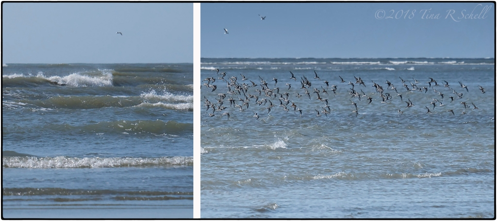 Kiawah's ocean and sea birds