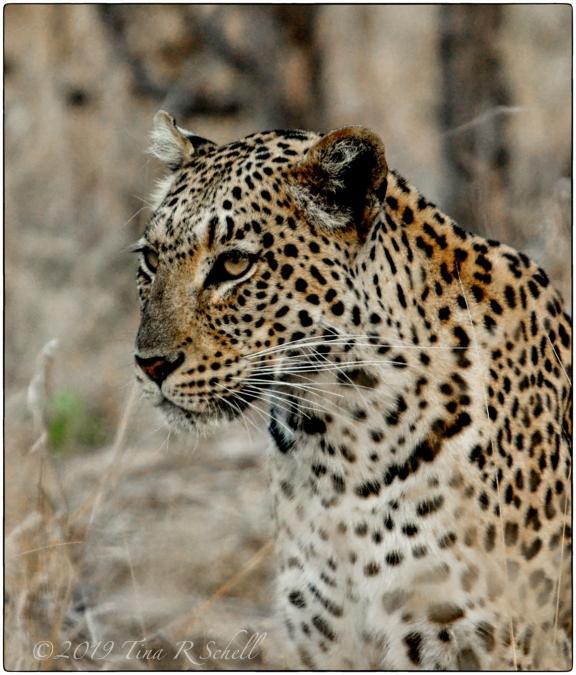 BEAUTIFUL BEAST, BOTSWANA