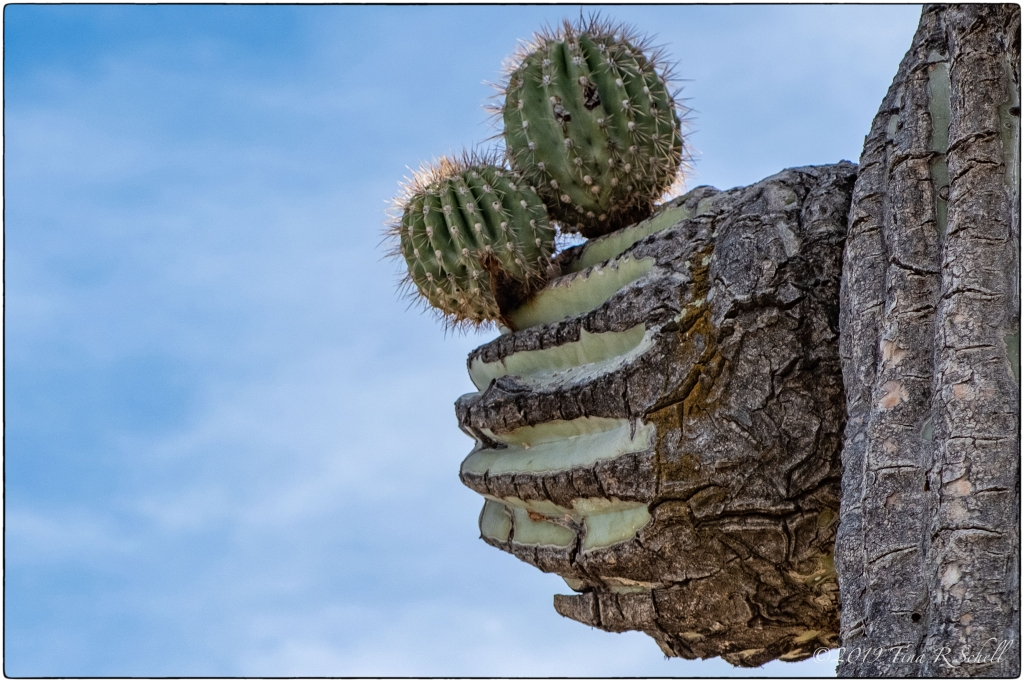 two small cacti growing on one large cactus