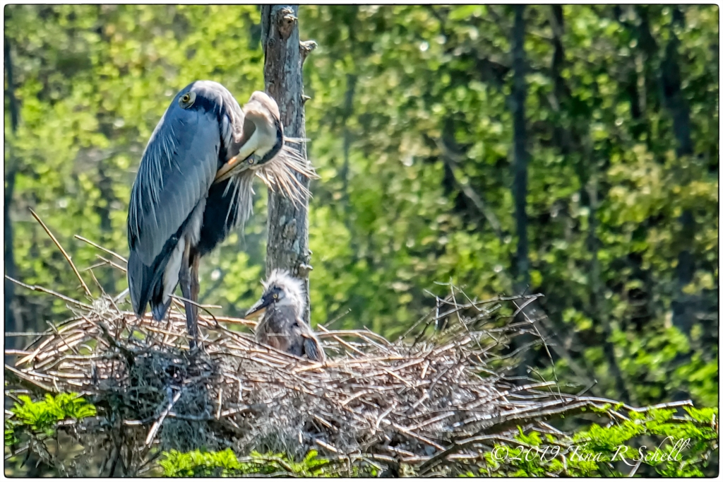 HERON MOTHER, HERON CHICK, NEST