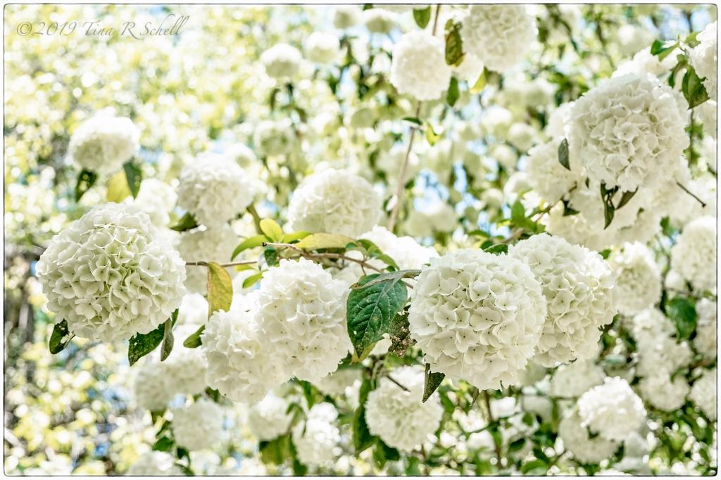 Many white hydrangeas