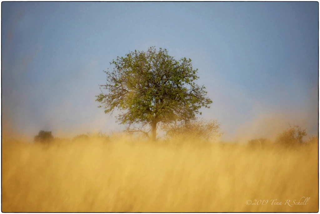 green tree, high golden grass, blue sky