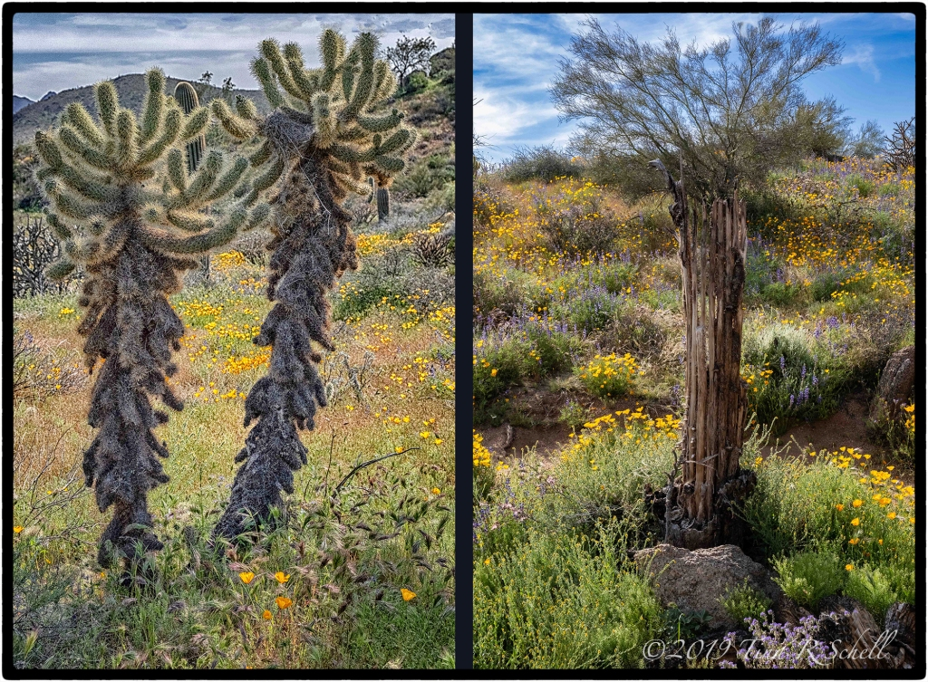 2 cholla cacti vs 1 dying cactus
