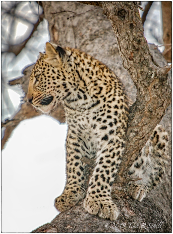 LEOPARD CUB IN THE WILD