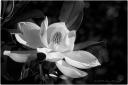 magnolia, B&W