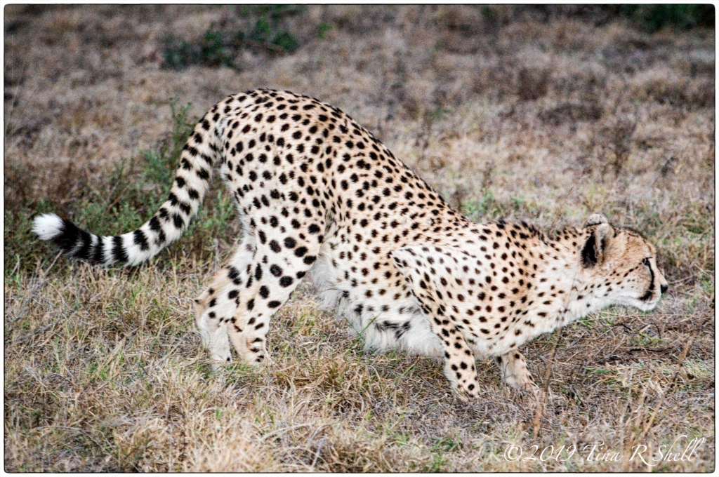 cheetah in hunting position