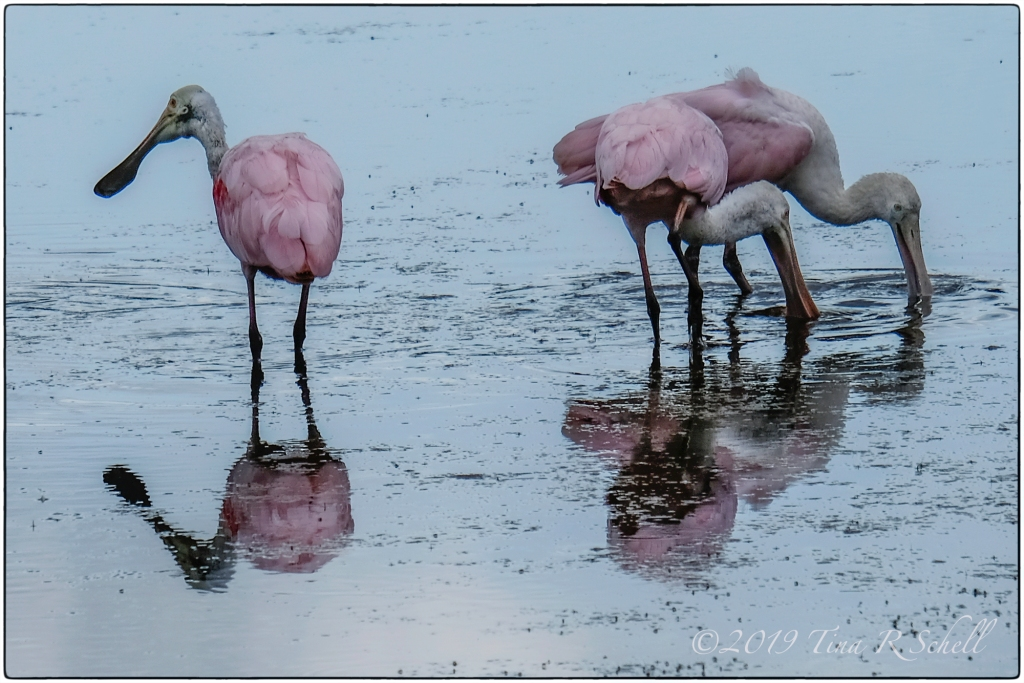 3 roseate spoonbills in water