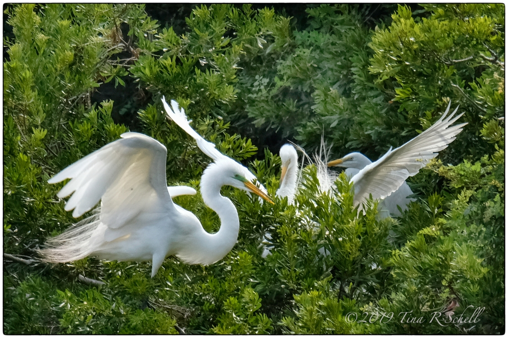 Egrets in the trees